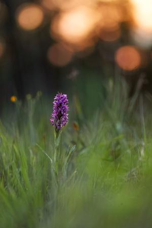 broad leaf: Western Marsh Orchid