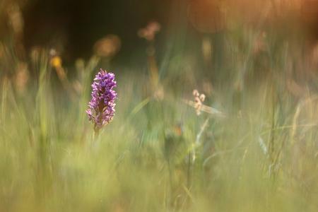 Western Marsh Orchid