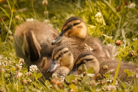 sweet little ducklings Stock Photo