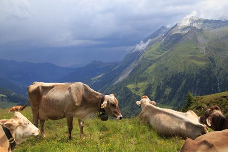 alpen: Alpine brown cow on green meadow, Austria