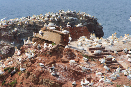 Sea birds at red cliffs of Helgoland at sunset, summer Stock Photo