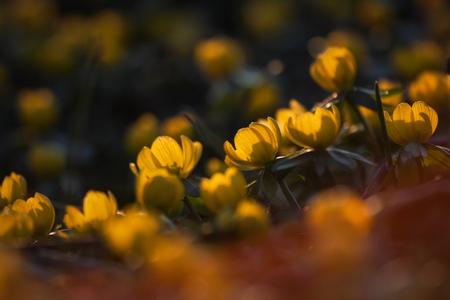 yellow winterling blossoms Stock Photo
