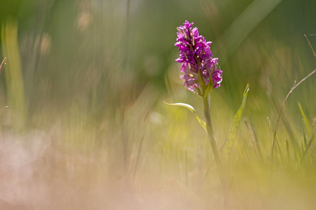 Dactylorhiza majalis (western marsh orchid, broad-leaved marsh orchid, fan orchid, common marsh orchid )