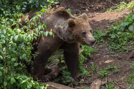 brown bear in croatian mountains Banco de Imagens