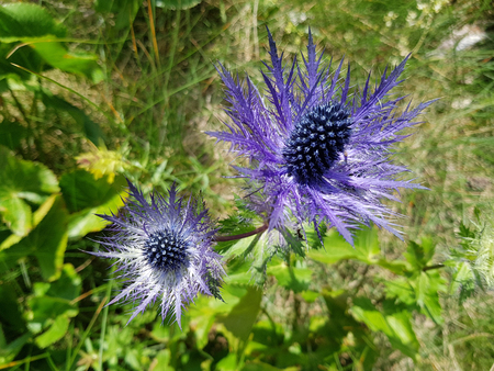 Sea Holly - Eryngium - flowers in velebit croatia Stock Photo