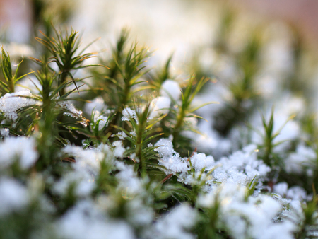 Close-up of forest moss in light green color fallen over thin coniferous branches on the snow.