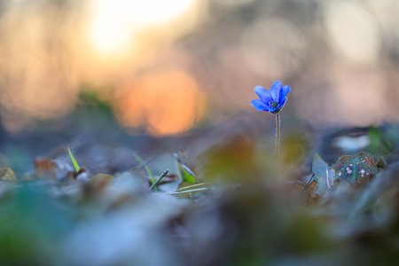 Hepatica flower in the natural environment during sunset 免版税图像