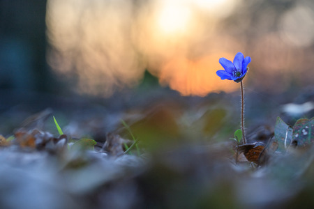 Hepatica flower in the natural environment during sunset Stock Photo