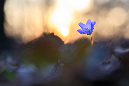 Hepatica flower in the natural environment during sunset 版權商用圖片