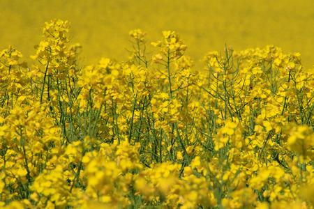 Rapsblume im Frühjahr in Sachsen
