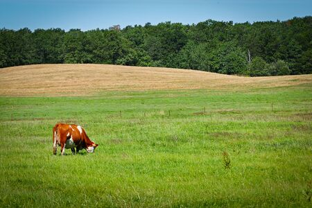 grazing cow in saxony germany