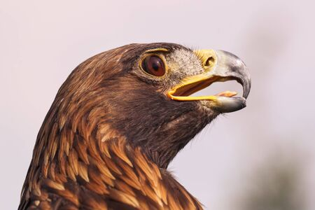 Eagle looking fierce. A magnificent golden eagle