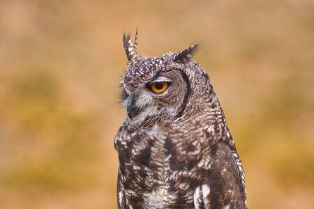 Great Horned Owl, Bubo Virginianus Subarcticus, 스톡 콘텐츠
