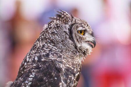 Great Horned Owl, Bubo Virginianus Subarcticus, 写真素材