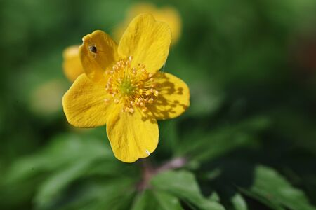 Close up of a right yellow anemone ranunculoides (yellow anemone, yellow wood anemone, buttercup anemone)