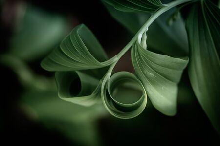 Polygonatum multiflorum fresh green spring flowers
