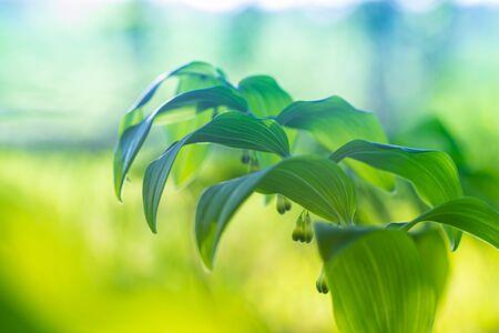 Polygonatum multiflorum fresh green spring flower