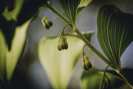 Polygonatum multiflorum fresh green spring flower Stock Photo