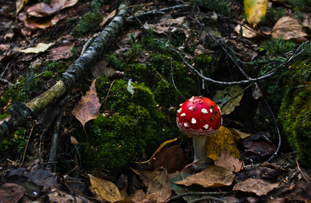 incarnadine: Small mushroom growing in a pine forest Stock Photo