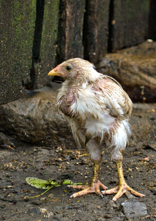 Chicken, wet after the rain, standing on a background of stones and fence