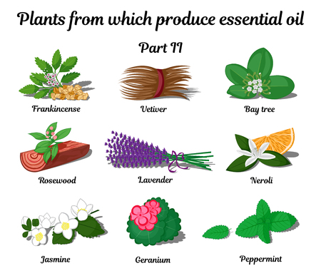 Pflanzen aus der Herstellung von ätherischen Ölen Illustration