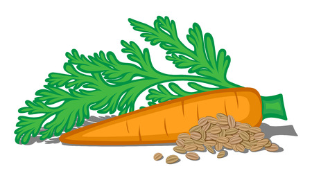 Illustration of carrot taproot, leaves and seeds isolated on a white background Illustration