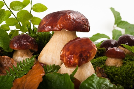 Group of ceps in the undergrowth photo