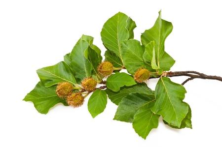 Filiale di faggio con foglie e semi