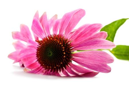 Echinacea flower isolated on white photo
