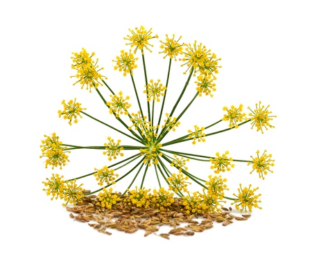 fennel seeds: Flowers and seeds of wild fennel Stock Photo