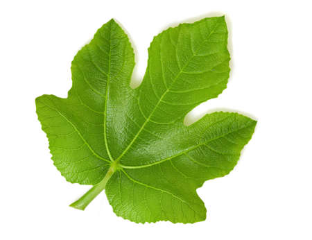Fig leaf photo