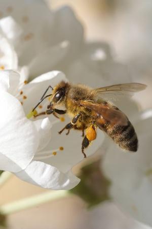 abejas: Abeja en el trabajo Foto de archivo