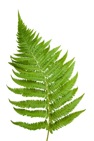 Ferns branch isolated on white photo