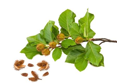Beech Zweig mit Blättern und Samen