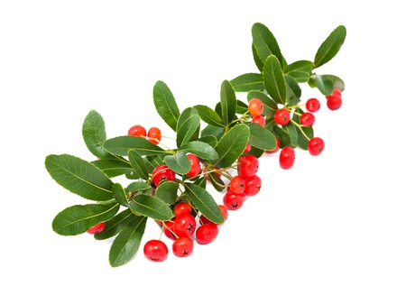 ornamental bush: Red pyracantha berries on white
