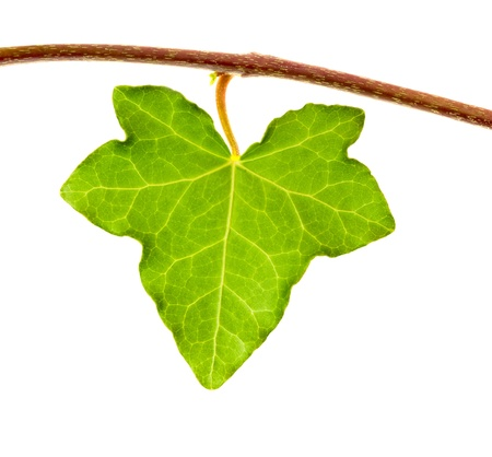 Ivy leaf isolated on white photo