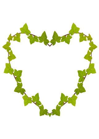 Ivy Heart  isolated on white photo
