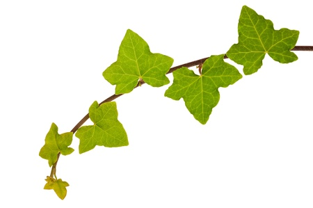 Branch of ivy isolated on white Stock Photo