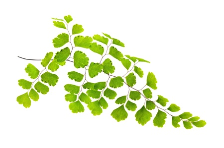 ferns: Maidenhair branch  isolated on white Stock Photo