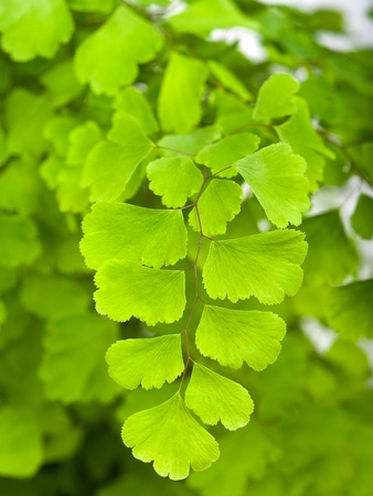 botanical remedy: Branches with leaves of maidenhair