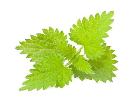plantas medicinales: Ortiga salvaje aislado en blanco Foto de archivo