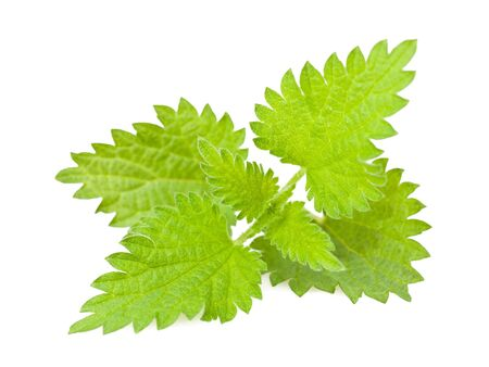 medicinal herb: Wild nettle isolated on white