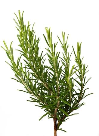 Rosemary sprig  isolated on white