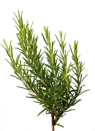 rosemary: Rosemary sprig  isolated on white