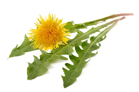 officinal: Dandelion flower and dandelion isolated on white background Stock Photo