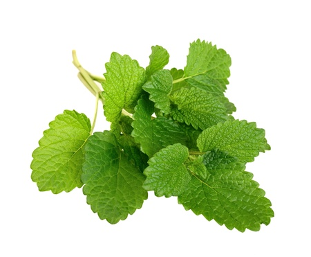 lemon balm: Lemon balm sprig isolated on white