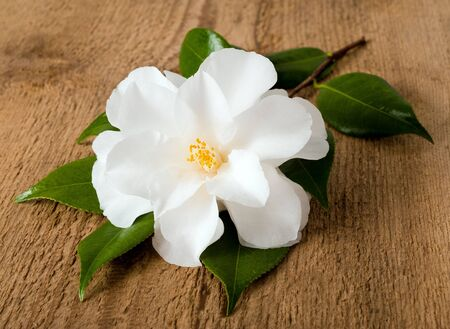 camellia:  Camellia flower with leaves on woodden background Stock Photo
