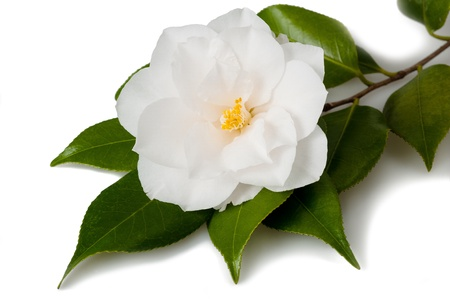 Camellia flower with leaves on white background photo