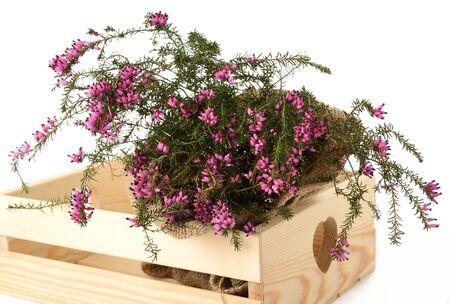 erica: Purple heather bunch inside a box