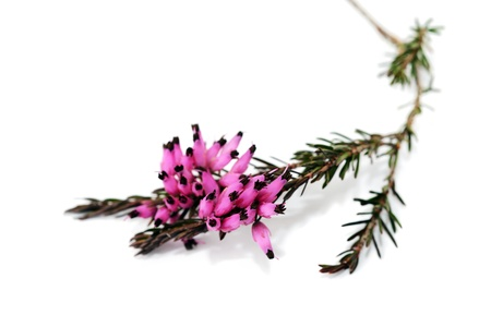 Purple heather branch isolated on whitebackground Stock Photo - 13369547